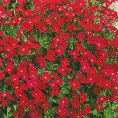 Aubrieta Royal Red -  Appx 250 seeds